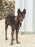 看板犬うるま♂、2015年春生まれの琉球犬ミックス